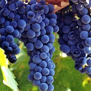 Vine grafts