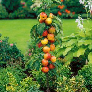 Pillar fruit